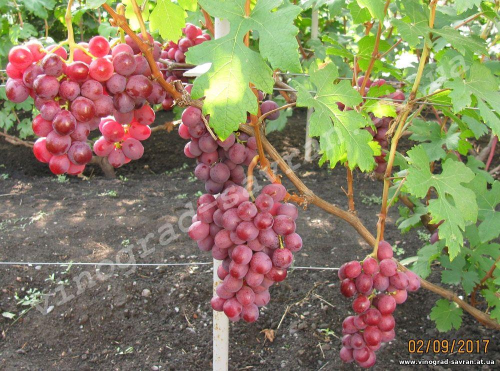 Сорт винограда подарок запорожью фото и описание 582