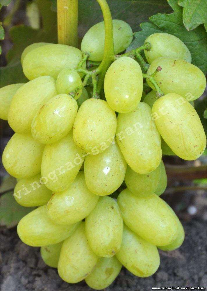 сорт винограда сицилия описание и фото